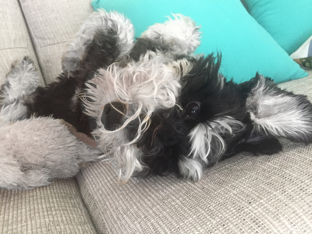 Leo the Schnauzer looking oh so cute