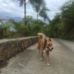 Cruisie Boca on a walk